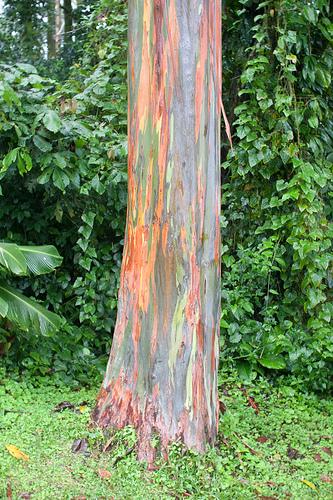 eucalyptus timber